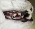 Зубные отложения у кота.